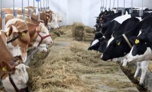 Termen prelungit pentru sprijinul destinat producătorilor de lapte
