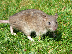 Rat (Peanut1371) Tags: rat mammal nationalgeographicwildlife