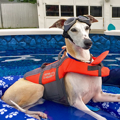 Bomber Pilot (DiamondBonz) Tags: spanky whippet doggles goggles life jacket swim swimming handsome dog hound