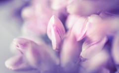 it's a beautiful day (t1ggr) Tags: floral flower macro closeup pastel dreamy soft dof garden summer softtones