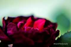 LostBeauty (MonaKPhotography) Tags: red rose flower beauty lost green