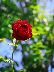 Rose I (kazs2307) Tags: rose garden red バラ 赤 花 横浜イングリッシュガーデン ガーデン flower