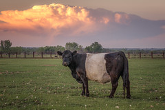"""Can you say Cumulo Nimbus?"" asked the cow. (andy_8357) Tags: sony a6000 ilce6000 ilcenex alpha 6000 landscape oreo cow cumulonimbus cloud dusk sunset colorado boulder county animal eyes looking staring curious trees sky grass field sel55210 55210mm cattle mirrorless cumulo nimbus dramatic"