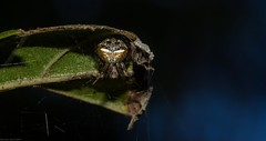 'Araneus' albotriangularis (dustaway) Tags: arthropoda arachnida araneae araneomorphae araneidae araneinae araneus araneusalbotriangularis orbweaver australianspiders scrubbycreek backcreekvalley northernrivers nsw nature australia natur spinne araignee
