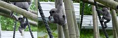 Baby on tour - (rotraud_71) Tags: germany bavaria munich münchen zoo tiergarten hellabrunn affenbaby