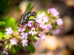 Sarcophaga Carnaria (Rob.J.Davis) Tags: olympus60mmf28macro microfourthirds mft fly sarcophagicarnaria fleshfly flyuk macro flyonaflower