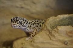 20170627X1849_Leopardgecko_0055 (RascheBilder) Tags: leopardgecko raschebilder