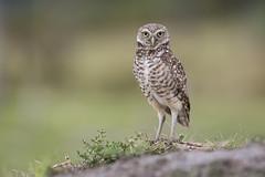 Burrowing Owl (Michael Zahra) Tags: usa america bird burrowing owl endangered threatened grass canon fauna wildlife nature conservation animal travel 7d2