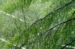 Converging (rickhanger) Tags: nature trees green rain raining downpour pinetrees converginglines diagonals converging