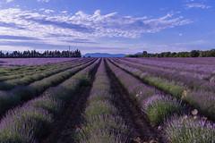 Campos de Lavanda - Lavender fields (i.puebla) Tags: campos exterior francia laprovenza fields airelibre lavanda lavander cielo sky nubes clouds violeta púrpura purple azul blue naturaleza nature nikon d7200