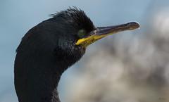Shag (Rob McC) Tags: avian bird fauna shag cormorant phalacrocoraxarostotilis beaks feather portrait detail northumberland farneislands
