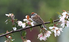 *** Bruant familier / Chipping sparrow (ricketdi) Tags: bird bruantfamilier chippingsparrow spizellapasserina coth5 ngc sunrays5 npc