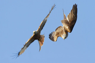 Red Kites _MG_0165a