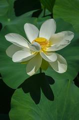 Lotus-9.jpg (BoCat31) Tags: fleur lotus blanc ombre