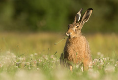 Sun set Brown Hare (Wouter's Wildlife Photography) Tags: brownhare hare animal mammal nature naturephotography wildlife wildlifephotography rodent lepuseuropaeus billund sunset