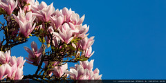 Magnolias (2017) (Ludtz) Tags: ludtz canon canoneos5dmkiii 5dmkiii ef300|4lis spring printemps fleurs flowers blossoms magnolias pink rose arbre arbres trees tree blue bleu hautesavoie gaillard alpes alps