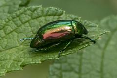Scarabaeidae, Macraspis chrysina (Emerald beetle / Escarabajo esmeralda) (PriscillaBurcher) Tags: scarabaeidae macraspis macraspischrysina escarabajo escarabajoesmeralda cucarrón escarabajofitófago beetle emeraldbeetle rutelinae l1350666