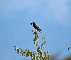 Common Starling (Sturnus vulgaris) (MagnusGustafsson) Tags: stare sturnus vulgaris common starling birds birding fåglar