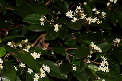 Dimorphocalyx australiensis (andreas lambrianides) Tags: dimorphocalyxaustraliensis euphorbiaceae tritaxisaustraliensis shiptonsglory australianflora australiannativeplants australianrainforests australianrainforestplants australianrainforestflowers arfflowers whitearfflowers arfp warfp qrfp cyrfp dryarf dimorphocalyx monsoonarf
