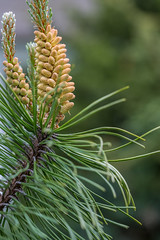 Blossom Pine Tree (AudioClassic) Tags: blossom pine tree flower green nature spring apple season white plant leaf beauty blooming garden agriculture petal bright branch floral bloom bud flora background summer sky fruit blue orchard growth rural appletree gardening pink outdoor macro color natural sunlight vibrant closeup park delicate head vegetation fresh beautiful cherry botanical botanic nobody may nectar honey