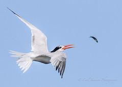 Flying fish (cbjphoto) Tags: avian tern bolsachica reserve fish photography elegant toss ecological bird inflight carljackson