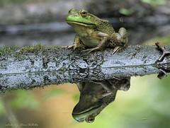 boggy froggy (don.white55 plunging headlong.) Tags: americanbullfroglithobatescatesbeianus wildwoodpark towpathtrail harrisburgpennsylvania donwhite thatswildnaturephotography canoneos70d tamronsp150600mmf563divcusda011 tamron150600mm 150600mm frog amphibian reflection deadwood wildlife nature eyes eye blackwater fantasticnature