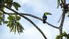 Toucan (davе) Tags: nicaragua 2017 americas centralamerica toucan bird animal tree sky branch beak elcastillo riosanjuan indiomaìzbiologicalreserve