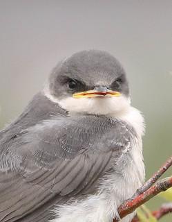 Jeune hirondelle bicolore  -  Tree Swallow
