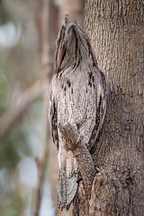 Copy Cat DSC_5932 (BlueberryAsh) Tags: woodlandshistoricpark birds tawnyfrogmouth bird raptor greenvale camouflage nikond750 australianbird tamron150600