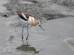 American Avocet (timber1212) Tags: ebparksok ebrp mlk arrowheadmarsh low tide mud avocet american oaklandca california sfbayarea