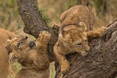 Lions of Maasai Kopjes 418 (Grete Howard) Tags: bestsafarioperator bestsafaricompany africa africansafari africanbush africananimals whichsafaricompany whichsafarioperator tanzania serengeti animals animalsofafrica animalphotos lions lioncubs maasaikopjes kopjes kopje