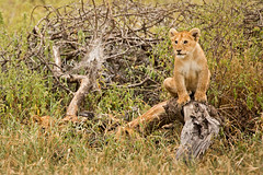 Lions of Maasai Kopjes 405 (Grete Howard) Tags: bestsafarioperator bestsafaricompany africa africansafari africanbush africananimals whichsafaricompany whichsafarioperator tanzania serengeti animals animalsofafrica animalphotos lions lioncubs maasaikopjes kopjes kopje