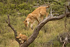 Lions of Maasai Kopjes 404 (Grete Howard) Tags: bestsafarioperator bestsafaricompany africa africansafari africanbush africananimals whichsafaricompany whichsafarioperator tanzania serengeti animals animalsofafrica animalphotos lions lioncubs maasaikopjes kopjes kopje
