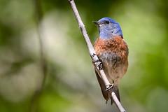 Western Bluebird (John Mullen1) Tags: sialiamexicana westernbluebird