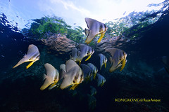 Swim to the sky (kayak_no1) Tags: nikon d800e nauticamhousing 15mmsigmafisheye fisheye ysd1 underwater underwaterphotography wa wideangle diving scubadiving uw rajaampat indonesia schoolofbatfish
