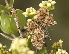 Calydna venusta morio (Stichel, 1929)  female (robertoguerra10) Tags: calydna venusta morio riodinidae butterfly borboletas lepidoptera