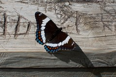 White Admiral (devoutly_evasive) Tags: mn minnesota state park judgecrmagney judge magney hiking trail devilskettle butterfly black white blue orange wood railing wooden carved graffiti initials