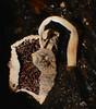 Mushroom changes Airlie Beach rainforest rotting log P1000561 (Steve & Alison1) Tags: pleated parasole inkcap mushroom galerella sp psathyrellaceae airlie beach rainforest