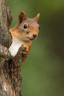 Eurasian Red Squirrel Sciurus vulgaris