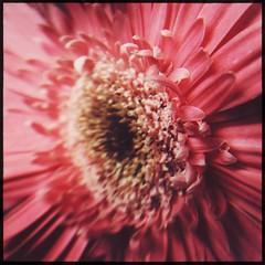 sun (meeeeeeeeeel) Tags: squareformat hipstamatic iphone iphoneography detalhes details pétalas petals macro flor flower pinkflower florrosa corderosa gerberarosa rosa pinkgerberas pink gerbera