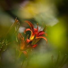 Couleurs du jardin (Mariette80) Tags: 50mmf14 couleursdujardin hémérocalle