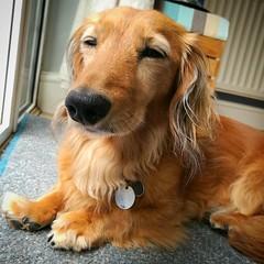 Sleepy Sausage (35mmMan) Tags: cookie minidachshund sausagedog dachshund hound shadedred longhaired wiener doxie sleepy dog
