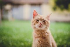 20170707-_DSF9045 (BalintL) Tags: red cat evening garden bokeh portrait dof green grass fujifilm xe1 yashica ml 50mm 17 zhongyi lens turbo mitakon