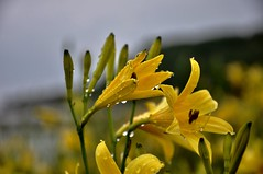 Après la pluie (AlainC3) Tags: fleurs flowers pluie rain gouttes raindrops nikon d90 nature plante extérieur