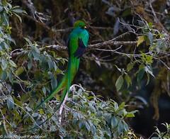 1-El príncipe del bosque húmedo !! Estaba tan lejos que tuve que verlo a través de un telescopio de un observador de aves !! Luego fue detener la respiración , fijar bien mi monopodo , meter mi punto de enfoque en su hombro y esperar por su mirada ! (Cimarrón Mayor 12,000.000. VISITAS GRACIAS) Tags: ordentrogoniformes familiatrogonidae géneropharomachrus quetzal nombrecientificopharomachrusmocinno nombreinglesresplendentquetzal statusamenazada lugardecapturasangerardodedota costarica ave bird oiseau vogel uccello pássaro πουλί ptak птица fågel lintu ptáček ptica птах cimarrónmayor panta josémiguelpantaleón 7dmarkii canoneos7dmarkii canon7dmarkii naturaleza libertee telefoto700mm dominicano fauna libre libertad montañas