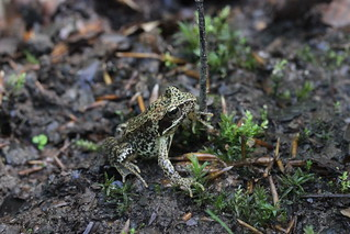 Common Frog - Rana temporaria