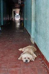 Dog sleeping in corridor, White Building, Phnom Penh, Cambodia (Alex_Saurel) Tags: dog architecture detail group edifice portray orientation asia photoreport fullbody posing day reportage travel portraiture photospecs planitalien portrait animal building imagetype vertical planpied fullframe cambodge photojournalism archicategory chien scans pose pleinformat stockcategories time photoreportage sony50mmf14sal50f14