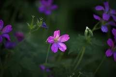 In the spotlight (mysticislandphoto) Tags: garden flower purple hardygeranium