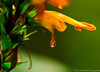 7DWF Macro or close-up (ramonaschmitt) Tags: flower blume orange green grün drop tropfen nikon d3300 allnaturesparadise glasklar spiegelung