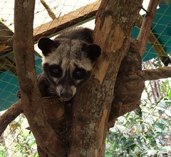 Palm Civet (Canis lupus alba) Tags: kawah ijen kawahijen indonesia java licin banyuwangi coffee civet palmcivet lewak